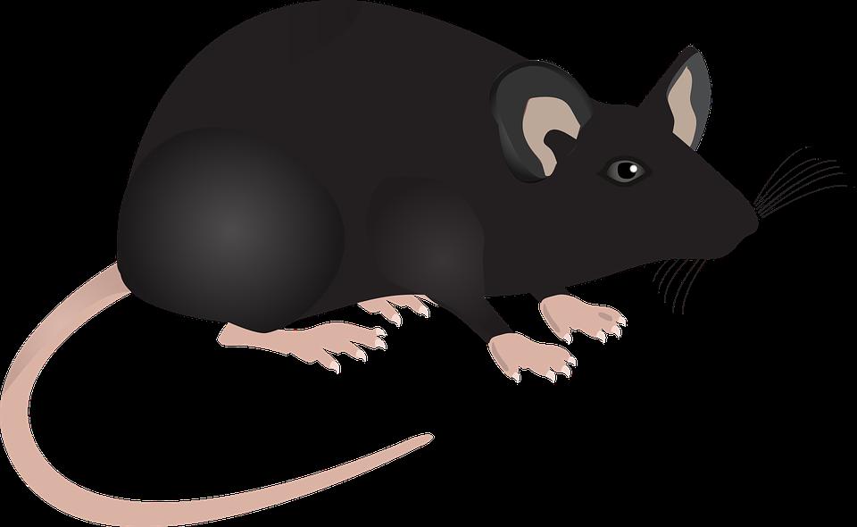 myš černá